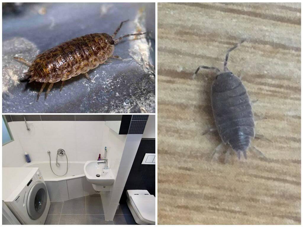 Чешуйница в ванной и туалете: как избавиться от насекомого