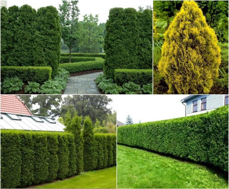Живая изгородь на даче – своими руками: посадка, уход и стрижка
