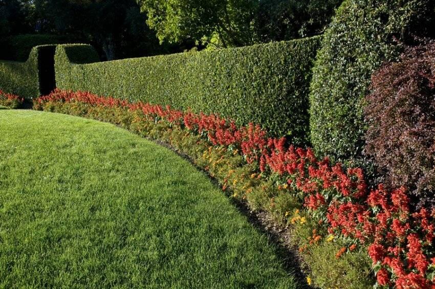 Живая изгородь: какие растения использовать для разных видов, как их посадить, вырастить и ухаживать