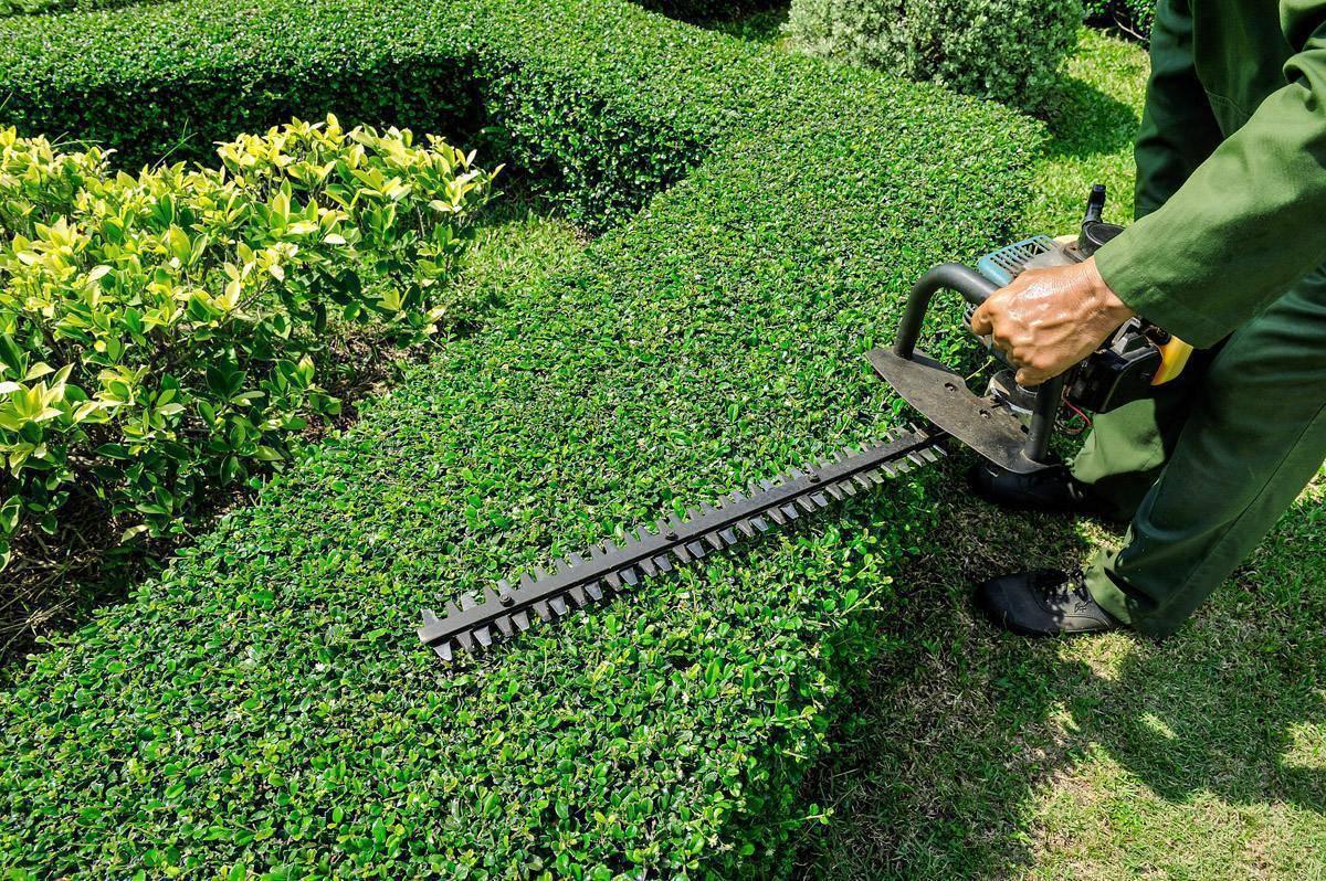 Живая многолетняя изгородь своими руками   65+ фото