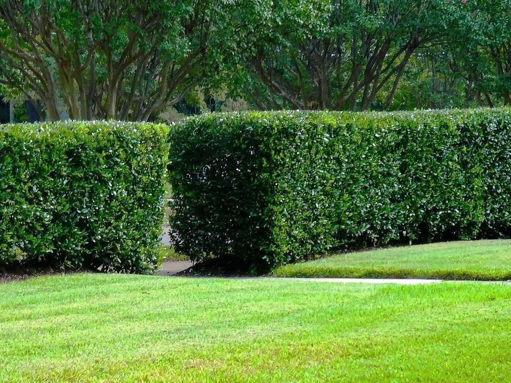 Выбор растений для живой изгороди: деревья и кустарники, быстрорастущие и многолетние