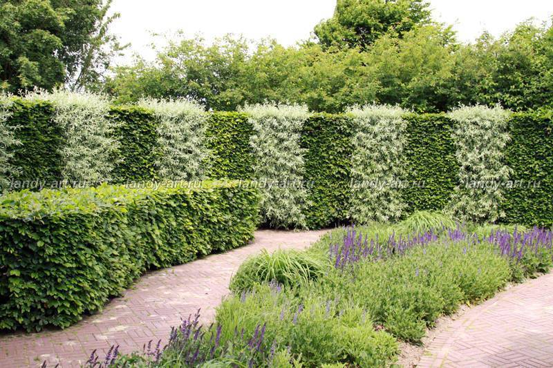 Живой забор из кустарника – обзор видов, правила посадки