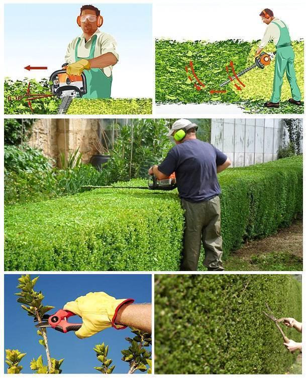 Как и когда проводить формирующую обрезку живой изгороди?