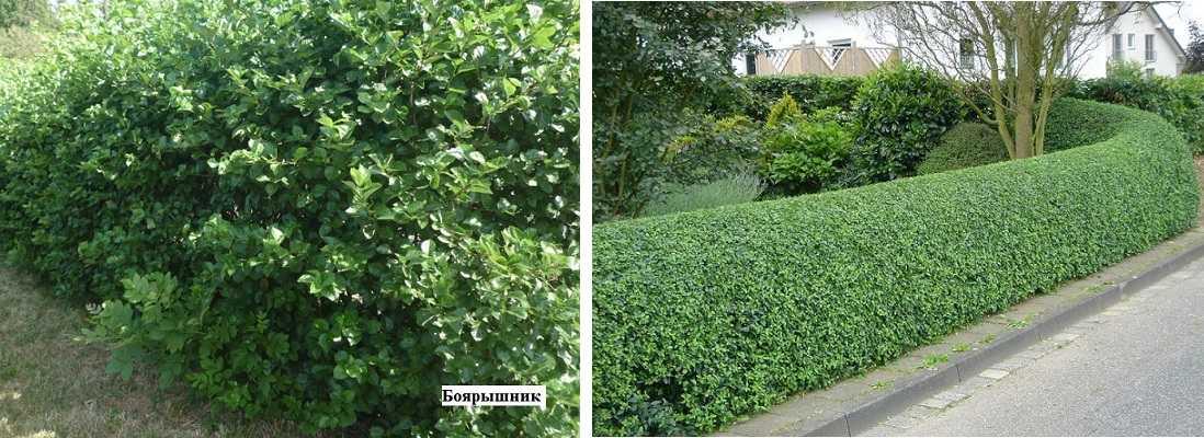 Живая изгородь - из чего лучше сделать: обзор вариантов, схемы, инструкции
